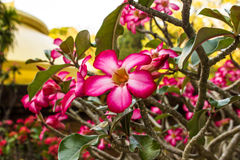 Adeniumobesum (de Woestijn nam toe) Stock Foto's