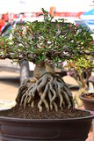 Adeniumobesumtree Arkivbilder