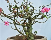 AdeniumWüstenpflanze Stockbilder