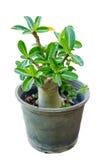 Adeniumwüstenrose, Impala-Lilie, Scheinazaleenblume, grüner Baum herein Lizenzfreies Stockfoto