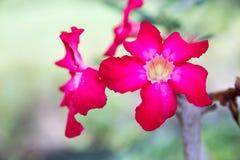Adeniunbloemen stock fotografie