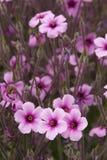 Adenophylla do perennial-Oxalis foto de stock