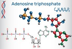 Adenosine triphosphate ATP molecule, is intracellular energy t Stock Photography