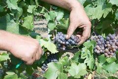 Adentro viñedos cortados uva Imagenes de archivo