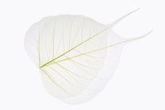 Ader mit zwei bodhi Blättern Stockbilder