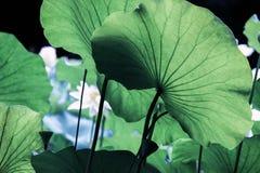 Adern auf großem grünem Lotosblatt Stockfoto