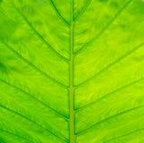 Adern des grünen Blattes Stockfotografie