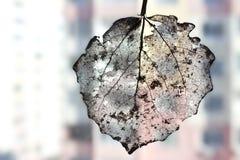 Adern des trockenen Blattes der Birke Stockfotografie
