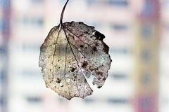 Adern des trockenen Blattes der Birke Stockfotos