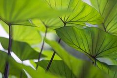 Adern des Wasserbrotwurzelblattes, Stockbilder