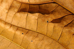 Adern eines getrockneten Blattes Stockbild