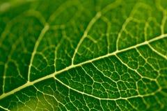 Adern eines grünen Blattes von einer Roseanlage stockfotos