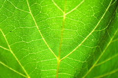 Adern eines Trauben-Blattes Stockfoto