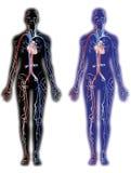 Adern und Arterien stock abbildung
