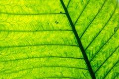 Adern und Zusammenfassungs-grünes Blatt Stockbild