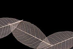 Adern von trockenen Blättern Stockbilder