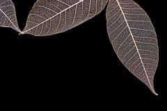 Adern von trockenen Blättern Stockfotos
