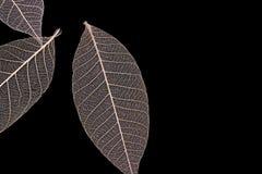 Adern von trockenen Blättern Lizenzfreies Stockfoto