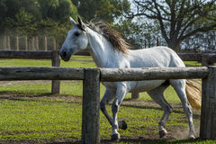 Adestramento do cavalo Fotos de Stock