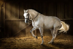 Adestramento do cavalo branco Imagens de Stock Royalty Free
