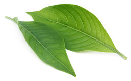Adhatoda vasica or Basak leaf Stock Images