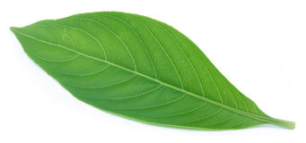 Adhatoda vasica or medicinal Basak leaf Stock Photography