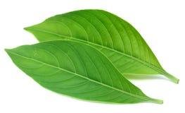 Adhatoda-vasica oder medizinische Basak-Blätter Lizenzfreie Stockbilder