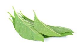 Adhatoda-vasica oder medizinisches Basak-Blatt Lizenzfreie Stockfotos