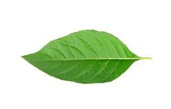 Adhatoda-vasica oder medizinisches Basak-Blatt lokalisiert auf Weiß Stockfoto
