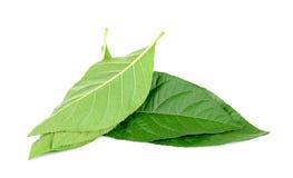 Adhatoda-vasica oder medizinisches Basak-Blatt lokalisiert auf Weiß Stockbild