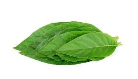 Adhatoda-vasica oder medizinisches Basak-Blatt lokalisiert auf Weiß Lizenzfreies Stockfoto
