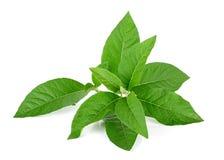 Adhatodavasica of geneeskrachtig die Basak-blad op wit wordt geïsoleerd Stock Foto's