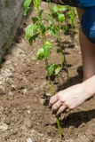 Adherence to the sprout during planting Stock Image