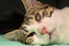 Adherencia de Ankyloblepharon- de los bordes ciliares de párpados superiores e inferiores por el gato Fotografía de archivo libre de regalías