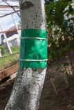 Adhesive tape to protect the wood from crawling insects. Green sticky tape on the tree trunk to protect against crawling insects stock photos