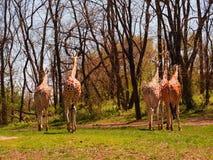 Adiós, adiós 5 jirafas Foto de archivo