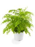 Adiamtum capillus Veneris; Royalty Free Stock Photos