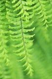 Adiantum aleuticum, Western maidenhair fern Royalty Free Stock Images