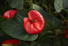 Adiantum edgeworthii Blume Lizenzfreie Stockfotografie