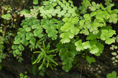 Adiantum Fern,Maidenhair fern Stock Image