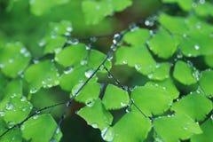 Adiantum mit Wassertropfen Lizenzfreie Stockfotos