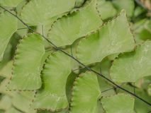 Adiantum peruvianum Blatt Lizenzfreie Stockfotos