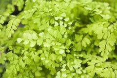 Adiantum raddianum. Of the houseplant Royalty Free Stock Photos