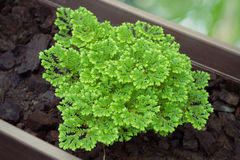 Adiantum Species Stock Photos