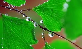 Adiantum with water drops. Fresh water drops or droplets on leaves and branches of Adiantum, or maidenhair fern Royalty Free Stock Photography