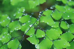 Adiantum with water drops Royalty Free Stock Photos