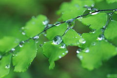 Free Adiantum With Water Drops 2 Royalty Free Stock Image - 55374396