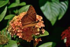 Adias del arsinoe di Vindula della farfalla dell'incrociatore in cairn, Australia Immagini Stock Libere da Diritti