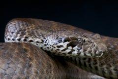 Adicionador de morte/antarcticus do Acanthophis Imagem de Stock Royalty Free