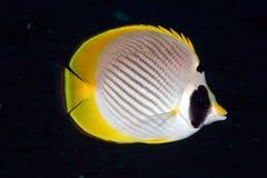 adiergastos butterflyfish chaetodon panda Fotografia Stock